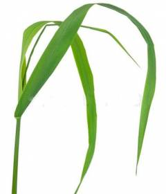 Мелисса трава полезные свойства и противопоказания