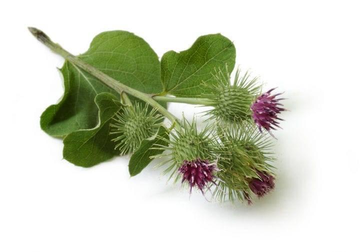 Цветки лопуха. лечебные свойства