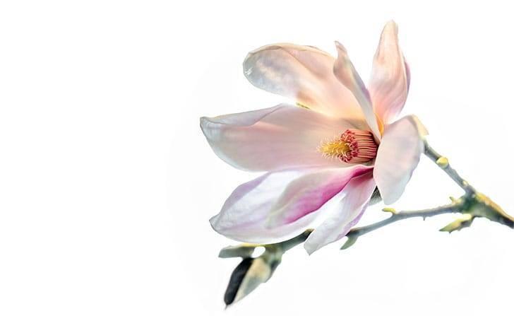Магнолия (цветок) – 9 лечебных и полезных свойств